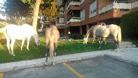 Al estilo del Oeste americano: caballos sueltos en Hoyo