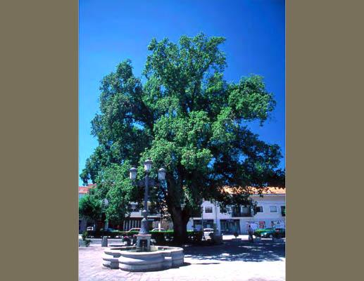 El árbol del año 2016 puede estar en la Sierra de Guadarrama