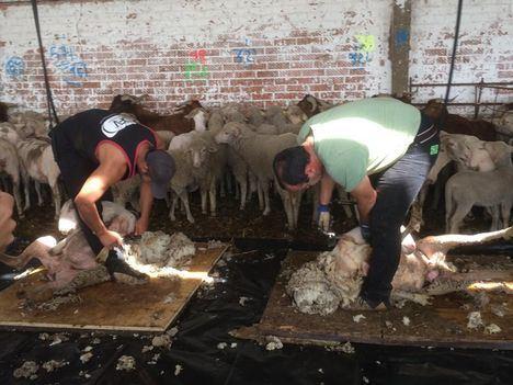 Esquileo de ovejas merinas antes de iniciar su trashumancia al Norte