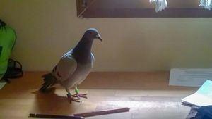 Una paloma mensajera de ida y vuelta
