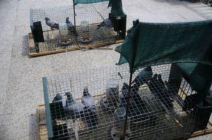 Campaña periódica de control de palomas en el municipio
