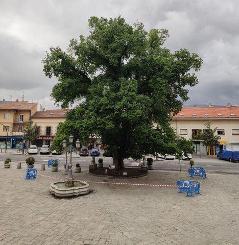 La Olma de Guadarrama sigue libre de grafiosis