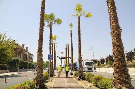 Boadilla comienza a plantar palmeras en la avenida Infante D. Luis