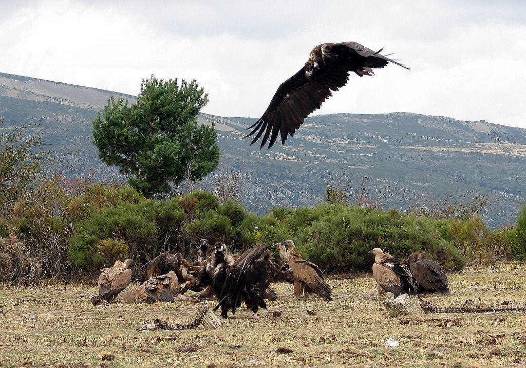 La Comunidad anilla un pollo de buitre negro nacido en el Parque Nacional