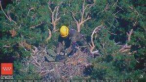 Muere la cría de buitre negro anillada en el Parque Nacional