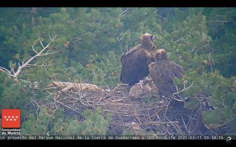 La Comunidad retoma un año más la emisión en directo desde un nido de buitre negro en el Parque Nacional