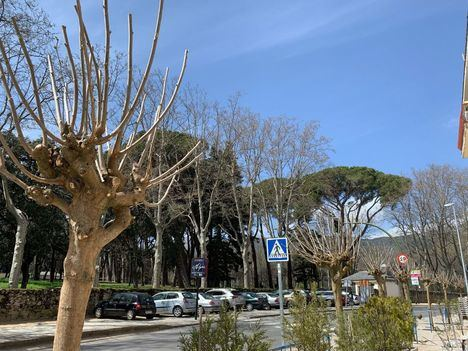 El Ayuntamiento de El Escorial planta siete nuevas moreras en la Avenida Reyes Católicos