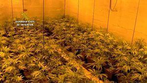 Desarticulada una organización dedicada a la venta de droga que tenía una gran plantación de marihuana en Guadarrama