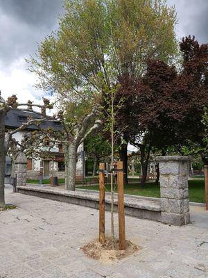 Guadarrama repone más de 60 árboles en distintas calles de la localidad