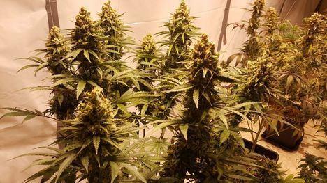 La Guardia Civil interviene 364 kilogramos de marihuana en El Boalo, Manzanares y Miraflores
