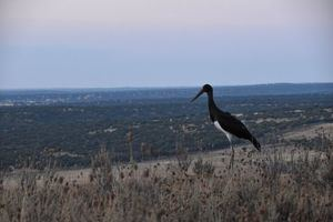 La Comunidad y GREFA liberan tres cigüeñas negras con GPS en el Parque de la Cuenca Alta del Manzanares