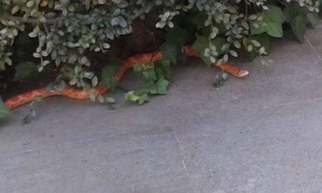 La Policía Local de Majadahonda recupera una serpiente tropical