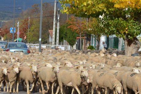 El rebaño de la trashumancia descansará en el Gurugú