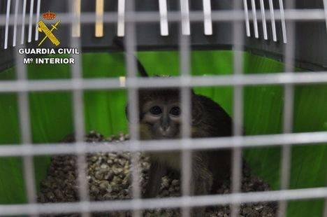 El SEPRONA localiza dos monos de especies amenazadas, abandonados en Madrid