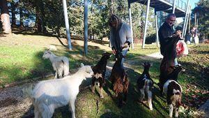 Un rebaño de cabras se instala en El Gurugú de Guadarrama