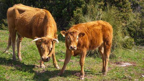 Aumentan las ayudas a la IGP Carne de la Sierra de Guadarrama