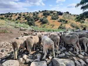 El rebaño trashumante de Jesús Garzón recorre la Sierra de Guadarrama en su regreso a los pastos del norte de España