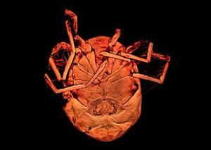Investigadores del Museo Nacional de Ciencias Naturales descubren una nueva especie de ácaro en las charcas de Alpedrete